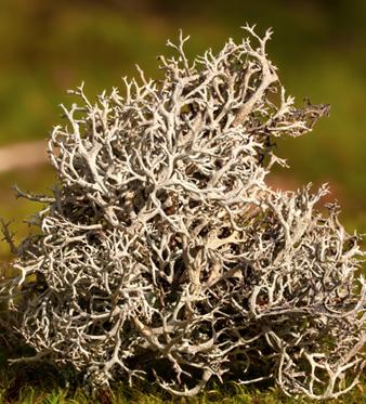 lichene islandico